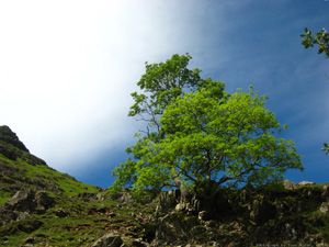 Green Tree On Blue And White - UK