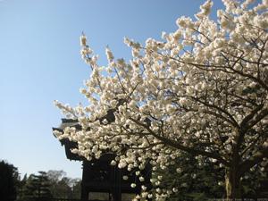 White Blossom On Blue - UK